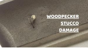 woodpecker doing damage to stucco